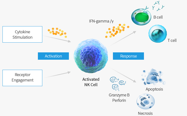NK Cell Activity and its Mechanism Diagram